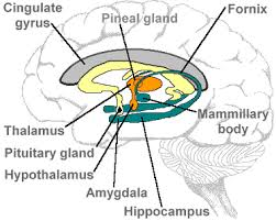 location of hippocampus and other brain regions